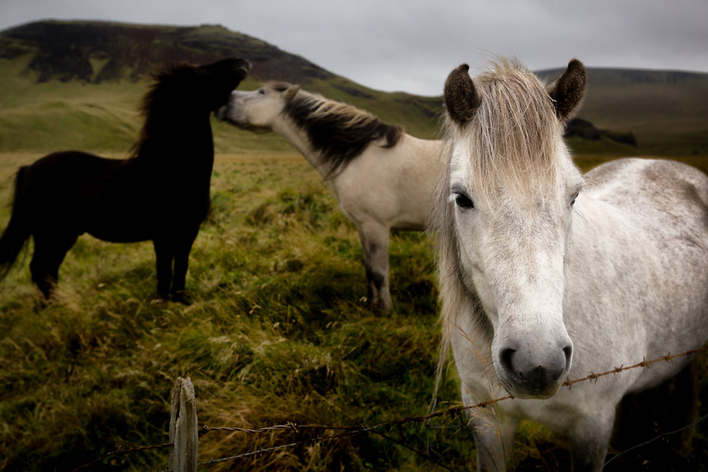 The ever present Icelandic horses